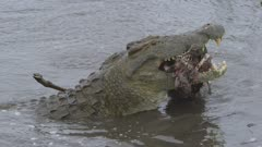 Crocodile tearing impala apart and eating it