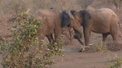 Elephant males fighting &  intertwining trunks
