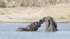 elephants intertwining trunks