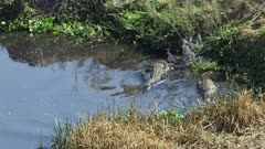 Nile crocodiles attacking fish