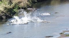 Nile crocodiles attacking fish