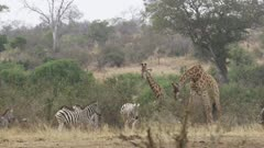 lots of African animals - zebra, wildebeest, giraffe