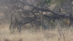 Leopard sneaking up on impala