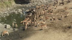 lots of African animals - impala, wildebeest