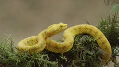 Eyelash viper on moss covered limb