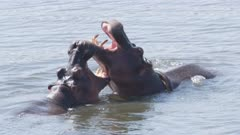 Hippo males fighting