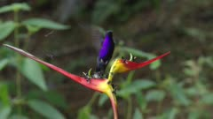 Violet sabrewing male on Heliconia