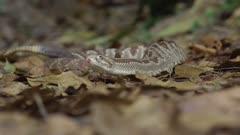 Central American rattlesnake moving towards camera