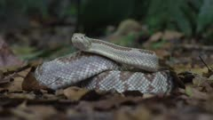 Central American rattlesnake sticking tongue out