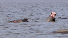 Hippo laughing