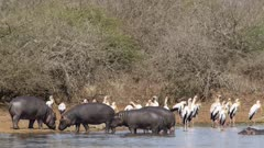 lots of African animals - hippos, crocodiles, yellow-billed storks