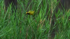 Weavers bird collecting grass for nest