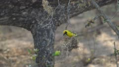 Weavers bird dismantling old nest