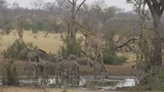 lots of African animals - giraffes, zebras