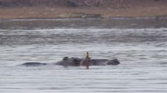 Oxpeckers and hippos