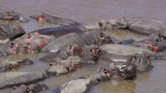 Hippos sleeping