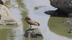 Hamerkop fishing in drying up river, 2 monitor lizards stand off