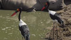 Male and female saddle-billed stork fishing, rhino in background in drying up river
