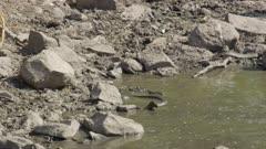 Monitor lizard fishing in drying up river