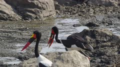 Female saddle-billed stork swallowing fish from a drying up river