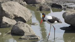 Female saddle-billed stork fishing in drying up river