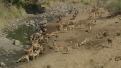 Lots of impala and wildebeest getting a drink at a drying up river