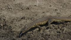 Semi-skinny monitor lizard starting to fish in a drying up river
