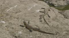 2 fat monitor lizards warming on a rock, so they can digest their food, next to drying up river