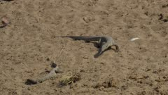 Smaller monitor lizard with fish runs from larger one next to drying up river