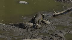 Monitor lizard trying to eat live fish next to drying up river