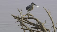 Green-backed heron catches a fish