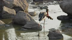 Female saddle-billed stork fishing in drying up river, catches one