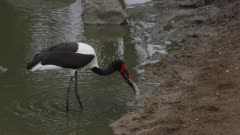 Female saddle-billed stork fishing in drying up river, catches one, a barbel