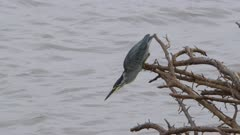 Green-backed heron trying to catch a fish