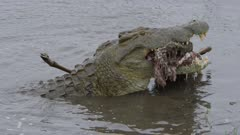 Really big Nile crocodile trying to swallow an adult male impala or trying to dismember it