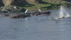 egrets and herons standing on hippos, crocodiles fishing