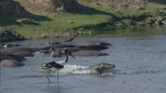 crocodiles and saddle-billed storks fishing with hippos around