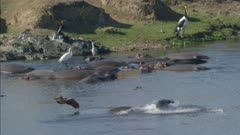 crocodiles fishing near hippos, hamerkop, heron and egret fishing on hippos