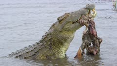 Really big Nile crocodile slinging an adult male impala trying to dismember it