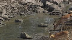 Impala drinking in drying up river as fish struggle in small bit of water
