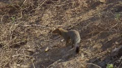 Mongoose watching either fish eagle or monitor lizard eat fish in drying up river