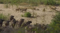 cape buffalo cautiously walking towards pride of lions