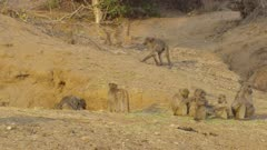 Chacma baboons troop grooming and play fighting