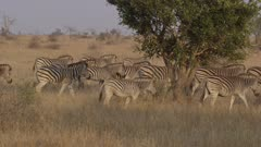 A large group of Burchell's Zebra walking