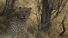 Bloody faced cheetah sitting, resting, returns to eating impala with brother