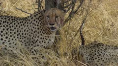 Bloody faced cheetah sitting, resting after eating impala with brother