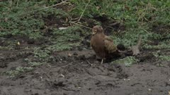 Immature African harrier-hawk digging in dirt for ????