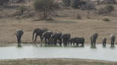 African elephants walking to water and drinking