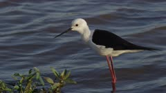 Black-winged stilt walking in lake looking for a meal
