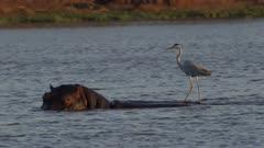 grey heron riding back of hippo, using it as a fishing platform